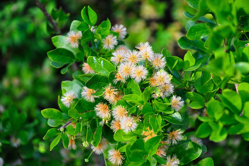 Buttonwood flowers