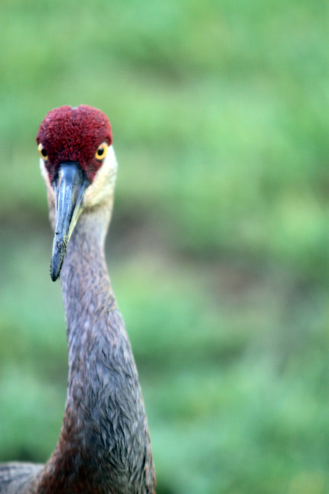 Sand Hill Crane, Orange Lake, Kissimme, Florida