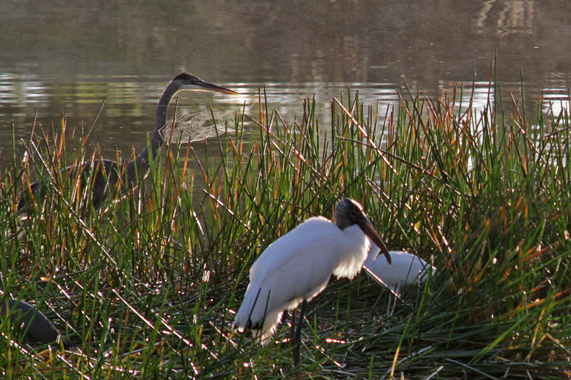 Sand Hill Crane, Wood Stork, and White Ibis -- Orange Lake, Kissimme, Florida