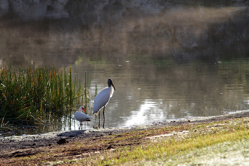 White Ibis and Wood Stork, Orange Lake, Kissimme, Florida