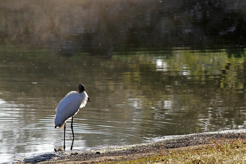Wood Stork, Orange Lake, Kissimme, Florida