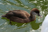 Red-crested Pochard [female]