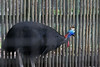 """The <b>Double-wattled Cassowary</b> <i>(Casuarius casuarius)</i>, found in New Guinea and northern Australia, is one of the largest birds in the world. Weighing as much as 128 pounds, only the ostrich is heavier. Flightless birds, Cassowaries are covered in coarse black feathers, with the exception of the skin on the head and throat which is brightly colored red and blue. One of the Cassowary's most distinguishing features is the large protuberance on the top of its head called the casque.  It is believed that the casque assists the Cassowary in pushing through the dense tropical forest vegetation, and may also provide some sort of protection. In captivity, Cassowaries have been observed using their casques like a shovel to search for food on the ground. It is believed that the size of the casque may indicate dominance and age, since the casque continues to grow throughout the life of the bird. Another distinguishing feature of the Cassowaries is their wattles. Wattles are present in two of the three species of Cassowary. These brilliantly colored folds of skin hang from the bird's neck, and may act as social signals in the dark forest.<br> <br> Status:  <a href=""""http://www.iucnredlist.org/apps/redlist/details/141088/0"""" target=""""_blank""""> <b>Vulnerable</a></b> --> Status information found at The IUCN Red List of Threatened Species"""