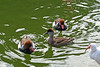 <b>Red-crested Pochard</b> <i>(Netta rufina)</i> [two males with a female in the middle] - Larger than a Common Pochard <i>(Aythya ferina)</i>, the male has an orange-brown head with a red beak and pale flanks. Females are brown with pale cheeks. In flight, they show whitish primaries. They dive, dabble and up-end for their food. There is a large population in Spain and nearer but smaller numbers in France, Netherlands and Germany.  Occasional wild birds may be found in the United Kingdom. The United Kingdom breeding birds almost certainly all come from escaped birds. They are unusual among ducks in that the drake will dive and bring food to the female during breeding season.<br> <br> On the right-hand side of the photo is an <b>American White Ibis</b> <i>(Eudocimus albus)</i>.