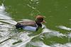 <b>Red-crested Pochard [male]</b> <i>(Netta rufina)</i> - Larger than a Common Pochard <i>(Aythya ferina)</i>, the male has an orange-brown head with a red beak and pale flanks. Females are brown with pale cheeks. In flight, they show whitish primaries. They dive, dabble and up-end for their food. There is a large population in Spain and nearer but smaller numbers in France, Netherlands and Germany.  Occasional wild birds may be found in the United Kingdom. The United Kingdom breeding birds almost certainly all come from escaped birds. They are unusual among ducks in that the drake will dive and bring food to the female during breeding season.