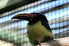 The <b>Green Aracari</b> <i>(Pteroglossus viridis)</i> is the smallest Aracari in its range and among the smallest members of the toucan family. It is the only member of its genus that is sexually dimorphic with the female having a bright chestnut head and neck.