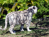 A <b>White Tiger</b> is a very rare animal. They are seen only in zoos nowadays. White tigers are a sub-species of Bengal tigers and not albino or their own species like many people think. White tigers occur after breeding two Bengal tigers with a recessive gene that controls coat color. It has been said the entire captive white tiger population originated from one single white tiger and has been inbred ever since.