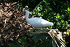 The <b>White Ibis</b> <i>(Eudocimus albus)</i> is one of the most numerous wading birds in Florida and is common elsewhere in the southeast. The White Ibis is highly sociable at all seasons, roosting and feeding in flocks, and nesting in large colonies.  Immature White Ibis are dark brownish with a white belly, white rump, and curved red bill. The White Ibis is an excellent example of the colonial waterbird. These birds nest in huge colonies in fresh water marshes or along the ocean coast. Researchers have counted 60,000-80,000 individuals in one colony in the Everglades National Park, Florida. During the day, White Ibis may fly up to 15 miles or more to find small crustaceans, fish, frogs, and aquatic insects to eat and to feed their young. When breeding, the bill, face, and legs turn scarlet. White Ibis can be found along the coast of North Carolina to Florida and Texas.