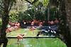 <b>Caribbean Flamingo</b> <i>(Phoenicopterus ruber)</i>, also called the American flamingo, is the most brightly colored and largest of all flamingos.  With their bright feathers and strongly hooked bills, flamingos are among the most easily recognized waterbirds. Their pink or reddish color comes from the rich sources of carotenoid pigments (like the pigments of carrots) in the algae and small crustaceans that the birds eat. The Caribbean flamingos are the brightest, showing their true colors of red, pink, or orange on their legs, bills, and faces. They are a scarlet pink color overall and have black primary feathers. Their bill is downward bending at its midpoint. They have large bodies and flexible long necks topped with a small head. The flamingo's long legs and feet are bare, and their toes are webbed, which is good for wading. Young birds are mostly grey and do not develop their characteristic pink until after the first year. The sexes are similar in appearance.