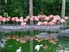 Caribbean Flamingo