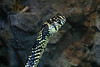 <b>Tiger Rat Snake</b> <i>(Spilotes pullatus)</i> - This nonvenomous snake has especially large eyes which enables it to see well at night - when it prefers to hunt.  It vibrates the tip of its tail and hisses loudly to ward off hungry predators.<br> <br> This snake had its head raised high and was moving toward - well, I have no idea where it was going :)