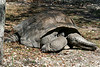 "The <b>Aldabra Giant Tortoise</b> <i>(Geochelone gigantea)</i> is second only to the Galapagos tortoise as the biggest land tortoise in the world. Aldabra Tortoises can weigh more than 500 pounds, with a shell more than five feet long. The Aldabra Tortoise is native to the Aldabra Atoll Islands off the east coast of Africa in the Indian Ocean. It is the last known survivor of a group of giant tortoises once found on Madagascar and the Seychelles Islands. Some of Miami MetroZoo's Aldabra Tortoises have been in captivity since 1937!  The Galapagos Tortoise is the only other surviving giant tortoise species.  Fun facts:  Male tortoises will bellow loudly to attract females for mating. Aldabra Tortoises usually live for 65 to 90 years. But they've been known to live even longer: the record is 152 years!<br> <br> Status:  <a href=""http://www.iucnredlist.org/apps/redlist/details/9010/0"" target=""_blank""> <b>Vulnerable</b> --> Status information found at The IUCN Red List of Threatened Species</a>"