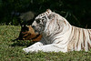 "<b>Bengal Tiger</b> <i>(Panthera tigris)</i> [left] - <b>White Tiger</b> [right]<br> <br> <b>Bengal Tiger</b> <i>(Panthera tigris)</i> - The tiger once ranged widely across Asia, from Turkey in the west to the eastern coast of Russia (Nowell and Jackson, 1996). Over the past 100 years tigers have disappeared from southwest and central Asia, from two Indonesian islands (Java and Bali) and from large areas of Southeast and Eastern Asia. Tigers have lost 93% of their historic range (Sanderson et al., 2006). Tigers are currently found in twelve Asian range states: Bangladesh, Bhutan, Cambodia, China, India, Indonesia, Lao PDR, Malaysia, Myanmar, Nepal, Russia, Thailand and Viet Nam. They may still persist in North Korea, although there has been no recent confirmed evidence. It is the largest living member of the cat family and no two animals are the same; each Bengal Tiger has its own pattern of stripes.<br> <br> Status:  <a href=""http://www.iucnredlist.org/apps/redlist/details/15955/0"" target=""_blank""> <b>Endangered</a></b> --> Status information found at The IUCN Red List of Threatened Species<br> <br> A <b>White Tiger</b> is a very rare animal. They are seen only in zoos nowadays. White tigers are a sub-species of Bengal tigers and not albino or their own species like many people think. White tigers occur after breeding two Bengal tigers with a recessive gene that controls coat color. It has been said the entire captive white tiger population originated from one single white tiger and has been inbred ever since."