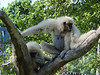 White-handed Gibbon [mother and child]