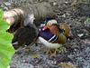Mandarin Duck [male and female]