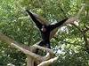"The <b>Siamang</b> <i>(Symphalangus syndactylus)</i>  (SEE-uh-mang) belong to the family Hylobatidae, which includes all 11 gibbon (or lesser ape) species. It is the largest of the lesser apes.  Siamangs are native to the island of Sumatra and the Malay Peninsula. Siamangs sing so loudly that it can be heard for up to 3 miles (4.8 km). To produce this loud call, Siamangs have a hairless, reddish-brown or gray throat (laryngeal) pouch which acts as a resonator to enhance the carrying of their call. When not in use, the pouch is hidden under their long, shaggy, jet-black fur. When inflated, the pouch is about the size of a Siamang's head, and amplifies its hooting and barking to ear-splitting levels. Usually involving the adult pair, the male and female sing different but coordinated parts; songs have a definite beginning, middle and end. Each elaborate duet begins slowly, then accelerates in speed. A song lasts about 18 seconds and is repeated for about 15 minutes.  <br> <br> The Siamang is the largest of the lesser apes.  Siamangs and gibbons are the only anthropoid apes that habitually walk erect like humans.  In their treetop habitat, they will walk along a vine as if on a tightrope with their hands held high for balance.  The Siamang is distinctive for two reasons. The first is that two fingers on each hand are fused together (hence the name ""syndactylus""). The second is the large ""gular sac"" (found in the male of the species), which is a throat pouch that can be inflated to the size of its head, allowing the Siamang to make loud resonating calls or songs. This species is found in Indonesia (Barisan Mountains of west-central Sumatra), Malaysia (mountains of the Malay Peninsula south of the Perak River), and a small area of southern peninsular Thailand (Chivers 1974; Khan, 1970; O'Brien et al. 2003; Treesucon and Tantithadapitak 1997). <br> <br> Status: <a href=""http://www.iucnredlist.org/apps/redlist/details/39779/0"" target=""_blank""> <b>Endangered</a></b> --> Status information found at The IUCN Red List of Threatened Species"