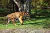 Bengal Tier