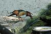 Mandarin Duck [male] in Wings of Asia