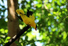 Black-naped Oriole in Wings of Asia