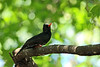 Black Bulbul in Wings of Asia