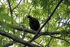 Himalayan Monal [juvenile]