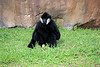 Northern White-cheeked Gibbon [male]