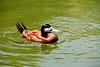 Ruddy Duck [male]