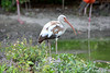 White Ibis [immature]