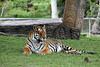 Bengal Tiger, Roshe
