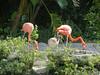 Caribbean Flamingos with a Juvenile