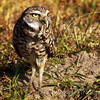 Burrowing Owl with grub worm<br /> Cape Coral, Florida