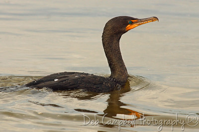 "Cormorant J. N. ""Ding"" Darling National Wildlife Refuge Sanibel Island, Florida"