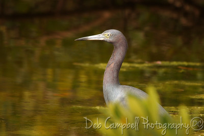 "Little Blue Heron J. N. ""Ding"" Darling National Wildlife Refuge Sanibel Island, Florida"