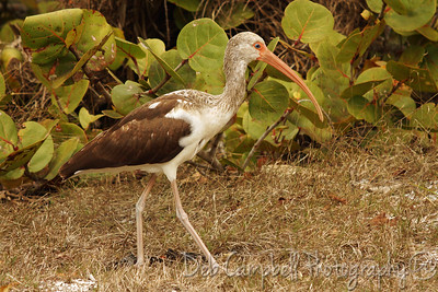 "White Ibis (Juvenile) J. N. ""Ding"" Darling National Wildlife Refuge Sanibel Island, Florida"