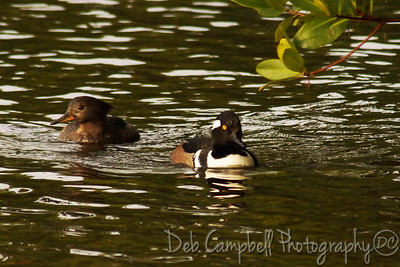 "Pair of Hooded Mergansers J. N. ""Ding"" Darling National Wildlife Refuge Sanibel Island, Florida"