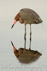 "Reddish Egret Reflections J. N. ""Ding"" Darling National Wildlife Refuge Sanibel Island, Florida"
