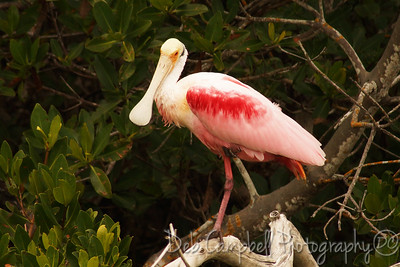 "Roseated Spoonbill J. N. ""Ding"" Darling National Wildlife Refuge Sanibel Island, Florida"
