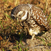 Burrowing Owl with grub worm Cape Coral, Florida