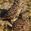 Burrowing Owl pair Cape Coral, Florida