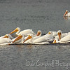 "American White Pelican A group of pelicans has many collective nouns, including a ""brief"", ""pod"", ""pouch"", ""scoop"", and ""squadron"" of pelicans. J. N. ""Ding"" Darling National Wildlife Refuge Sanibel Island, Florida"