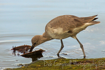"Willet with breakfast J. N. ""Ding"" Darling National Wildlife Refuge Sanibel Island, Florida"