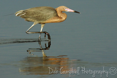 "Reddish Egret creeping up on it's prey. They are really fun to watch. Very comical. J. N. ""Ding"" Darling National Wildlife Refuge Sanibel Island, Florida"