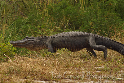 "American Alligator J. N. ""Ding"" Darling National Wildlife Refuge Sanibel Island, Florida"