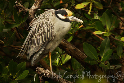 "Yellow Crowned Night Heron J. N. ""Ding"" Darling National Wildlife Refuge Sanibel Island, Florida"