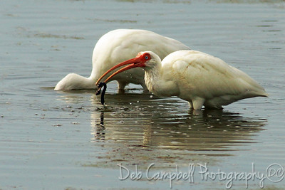 "White Ibis with leech J. N. ""Ding"" Darling National Wildlife Refuge Sanibel Island, Florida"