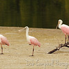 "Roseated Spoonbills J. N. ""Ding"" Darling National Wildlife Refuge Sanibel Island, Florida"