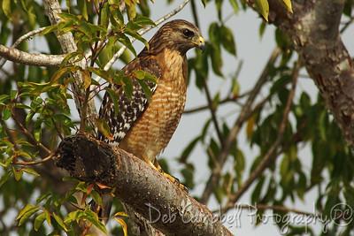 Red Shouldered Hawk Everglades National Park Florida