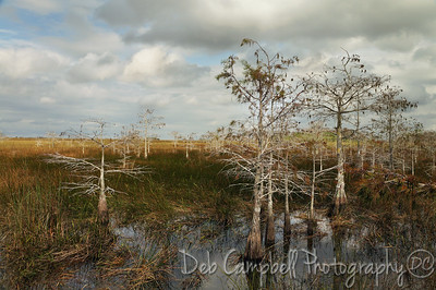 Dwarf Cypress Everglades National Park Florida