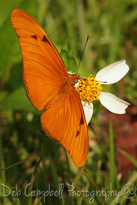 Julia Butterfly Everglades National Park Florida