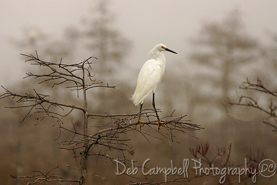 Snowy Egret Everglades National Park Florida